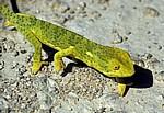 Lappenchamäleon (Chamaeleo dilepis) - Otjozondjupa