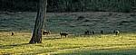 Punyu Tourist Park: Zebramangusten (Mungos mungo) - Tsumeb