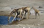 Chudop-Wasserloch: Giraffen (Giraffa camelopardalis) beim Trinken - Etosha Nationalpark