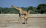 Chudop-Wasserloch: Giraffe (Giraffa camelopardalis) mit Jungem - Etosha Nationalpark