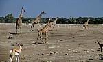 Chudop-Wasserloch: Giraffen (Giraffa camelopardalis) - Etosha Nationalpark