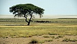 Akazie (Acacia) - Etosha Nationalpark