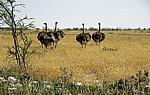 Afrikanische Strauße (Struthio camelus) - Etosha Nationalpark
