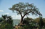 Baobab / Afrikanischer Affenbrotbaum (Adansonia digitata). - Kunene