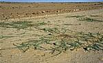 Namib: Tsamma-Melonen (Citrullus lanatus) - Erongo