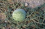 Namib: Tsamma-Melone (Citrullus lanatus) - Erongo