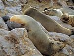 Südafrikanische Seebären (Arctocephalus pusillus) - Cape Cross
