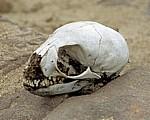 Schädel eines jungen Südafrikanischen Seebärens (Arctocephalus pusillus) - Cape Cross