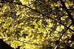Weißbunter Spitz-Ahorn (Acer platanoides 'Drummondii') - Cavendish