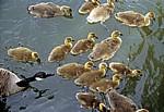 Kanadagans (Branta canadensis) mit Küken - Suffolk