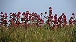 Rote Spornblumen (Centranthus ruber) - Aldeburgh