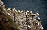 Bempton Cliffs: Basstölpel (Morus bassanus) - Bempton