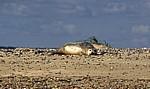 Blakeney National Nature Reserve: Blakeney Point - Junger Seehund (Phoca vitulina) - Norfolk