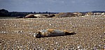 Blakeney National Nature Reserve: Blakeney Point - Seehunde (Phoca vitulina) - Norfolk