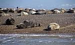 Blakeney National Nature Reserve: Blakeney Point - Seehunde (Phoca vitulina) - Norfolk