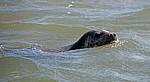 Blakeney National Nature Reserve: Blakeney Point - Kegelrobbe (Halichoerus grypus) im Wasser - Norfolk