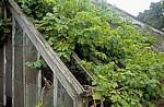 Holkham Hall: Walled Gardens - Wein wuchert aus einem Gewächshaus - Wells-next-the-Sea