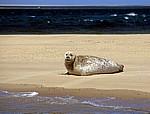 Blakeney National Nature Reserve: Blakeney Point - Seehund (Phoca vitulina) - Norfolk