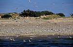 Blakeney National Nature Reserve: Blakeney Point - Kiesstrand mit Lachmöwen (Chroicocephalus ridibundus) - Norfolk