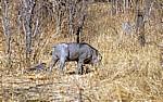 Warzenschwein (Phacochoerus africanus) - Victoria Falls National Park
