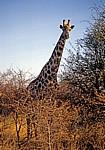 Giraffe (Giraffa camelopardalis) - Hwange National Park