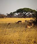 Impalas (Aepyceros melampus) - Hwange National Park