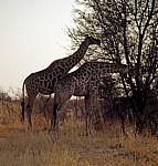 Giraffen (Giraffa camelopardalis) - Hwange National Park