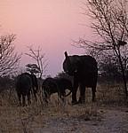 Afrikanische Elefanten (Loxodonta africana) - Hwange National Park