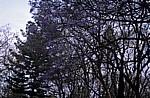 Blühende Palisanderholzbäume (Jacaranda mimosifolia) - Bulawayo