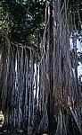 Banyan-Feige (Banyanbaum, Ficus benghalensis) - Triolet