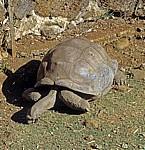 Sir Seewoosagur Ramgoolam Botanical Garden (Pamplemousses Botanical Garden): Seychellen-Riesenschildkröten (Aldabrachely - Pamplemousses