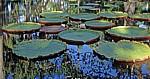 Sir Seewoosagur Ramgoolam Botanical Garden (Pamplemousses Botanical Garden): Amazonas-Riesenseerosen (Victoria amazonica - Pamplemousses