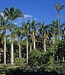 Sir Seewoosagur Ramgoolam Botanical Garden (Pamplemousses Botanical Garden): Königspalmen (Roystonea regia) - Pamplemousses