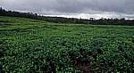 Teeplantage - Savanne District