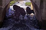 Rinder in einem kleinen Fluß unter einer Brücke - Manicaland Province
