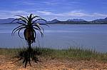 Osborne Dam (Erdschüttungsstaudamm): Aloe (Aloe) - Manicaland Province