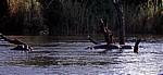 Flußpferde (Hippopotamus amphibius) im Zambezi - Victoria Falls National Park