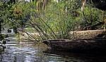 Jungle Junction: Mekolos (Einbäume) zwischen Echtem Papyrus (Cyperus papyrus) am Zambezi - Bovu Island