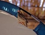 Blutschnabelweber (Quelea quelea) - Cape MacLear