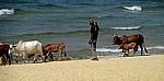 Hirte mit seinen Rindern am Strand des Malawisees - Kande Beach