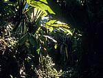 Bananenstauden (Musa) - Poroto-Berge