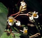 Begonie (Begonia) - Poroto-Berge