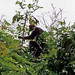 Uhehe-Rotkopf-Guereza (Udzungwa-Stummelaffe, Procolobus gordonorum) - Udzungwa Mountains National Park