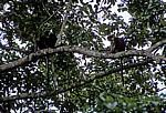 Uhehe-Rotkopf-Guerezas (Udzungwa-Stummelaffe, Procolobus gordonorum) - Udzungwa Mountains National Park