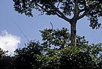 Uhehe-Rotkopf-Guereza (Udzungwa-Stummelaffe, Procolobus gordonorum) beim Sprung von einem Baum - Udzungwa Mountains National Park