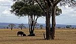 Afrikanische Büffel (Kaffernbüffel, Syncerus caffer) im Schatten eines Baumes - Mikumi Nationalpark