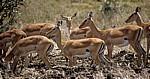 Impalas (Aepyceros melampus) - Mikumi Nationalpark