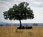 Afrikanische Elefanten (Loxodonta africana) unter einem Baum - Mikumi Nationalpark
