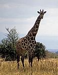 Massai-Giraffe (Giraffa camelopardalis tippelskirchi) - Mikumi Nationalpark