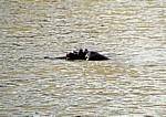 Flußpferdkopf (Hippopotamus amphibius) - Mikumi Nationalpark